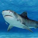 Tiger Sharks live wallpaper