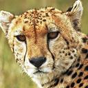 Cheetah live wallpaper